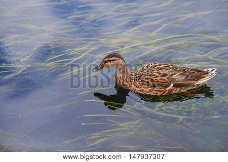 Birds in the wild. A lone mallard floats in a lake in autumn in search of food close-up.