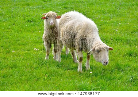 Sheep grazing in the mountains. Sheep on green spring meadow.