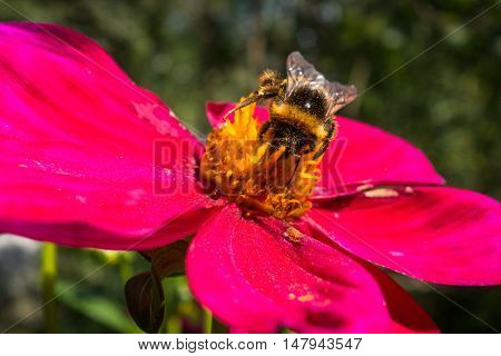 Bumblebee pollinating a red flower in the garden