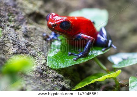 Blue Jeans Frog Or Strawberry Poison Dart Frog - Dendrobates Pumilio