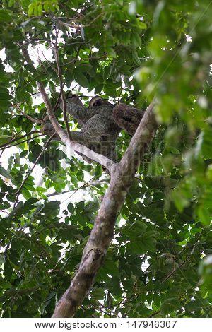 Three Toed Sloth In Costa Rica
