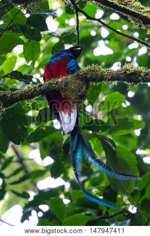 Resplendent Quetzal - Pharomachrus Mocinno