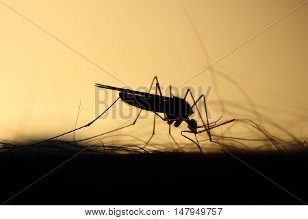 Backlit Anopheles Mosquito feeding on human arm
