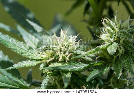 Healthy Cannabis Plant