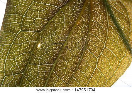 Wide Leaf Close Up