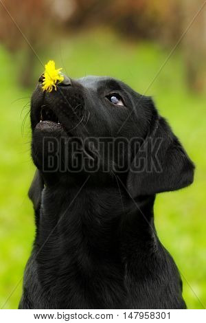 Funny dog black Labrador puppy holds on the nose dandelion flower and looks at it. Classes in circus training. Smart pet.