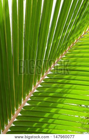 close up fresh green coconut leaves texture