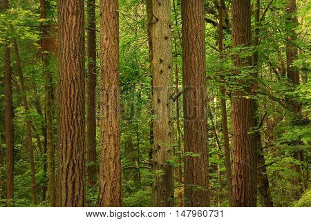 a picture of an exterior Pacific Northwest forest with a group of Douglas fir  trees