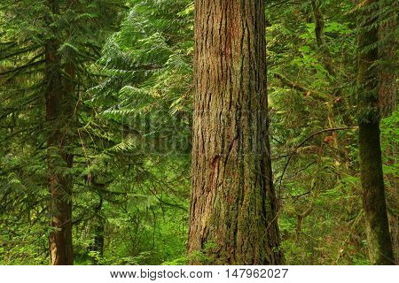 a picture of an exterior Pacific Northwest forest with a  old growth Yellow cedar tree