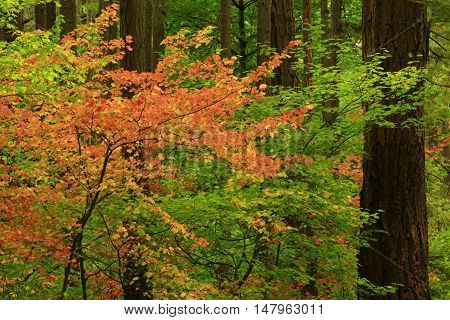 a picture of an exterior Pacific Northwest forest with a Dogwood tree in fall