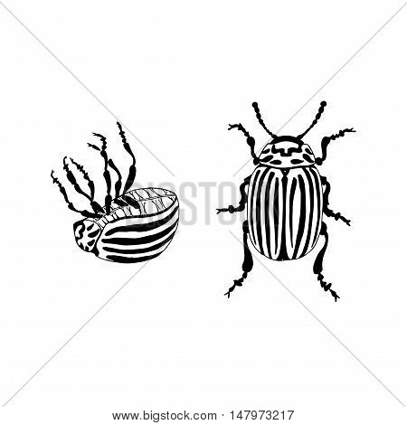 Vector Potato bug (leptinotarsa decemlineata). Hand drawn Colorado beetle