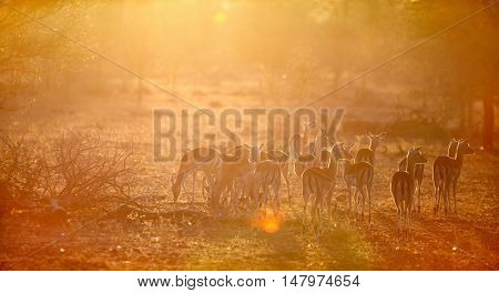 Group of impala antelopes in safari park in South Africa at morning light