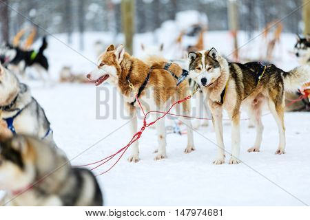 Sledding with husky dogs in Lapland Finland