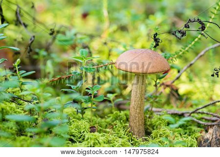 Edible mushroom. Leccinum scabrum growing on forest in moss on autumn day