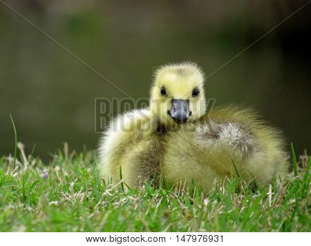 Baby Canada goose gosling lying in the grass looking at the camera.
