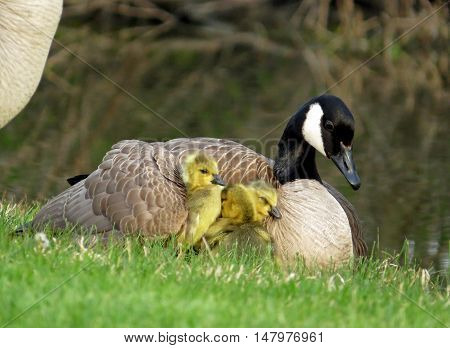 Mother Canada goose with gosling under her wing lying in the grass.