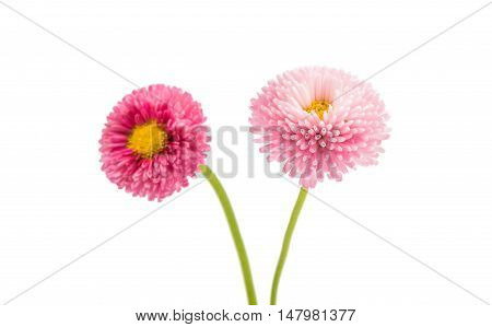 marguerite flower isolated on a white background