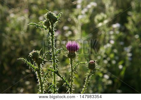 Thistle (Cirsium vulgare ) flower buds on a blurry background in backlight