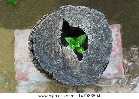 Strong Trees Grow Up In The Hollow Of A Tree Stump.