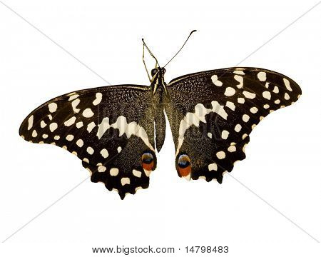 tropical black and white butterfly isolated on white background