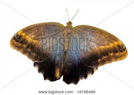 owl butterfly isolated on white background