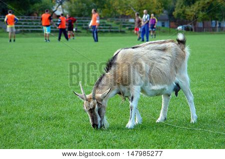 Humorous photograph of Goat grazing and thus mowing the grass on a football stadium
