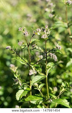 The mint plant grown at vegetable garden