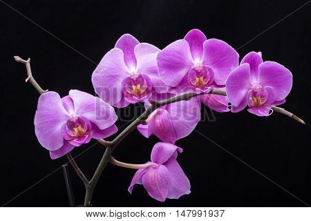 Pink streaked orchid flower isolated on black background