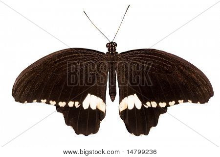 macro photo of isolated black and white butterfly