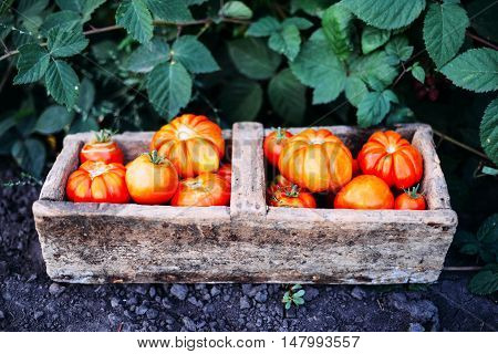 Assorted tomatoes in brown paper bags. Various tomatoes in bowl. Still life of different types of tomatoes. cherry tomatoes being washed in a colandar