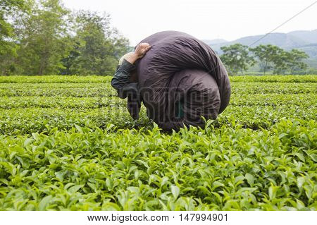 Asian tea farmer carrying a package of tea on his shoulder on a green fresh tea hill