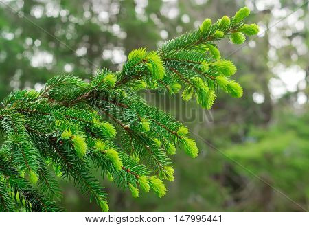 Branch of spruce with young shoots in the forest closeup on blurred background