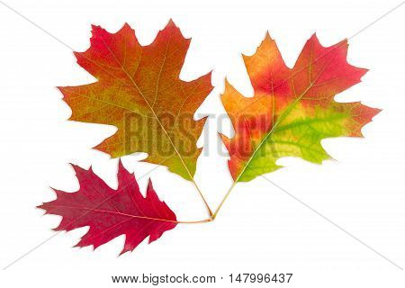 Three autumn varicolored leaves of red oak on a light background