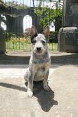 picture of blue heeler  - Pure breed australian blue heeler puppy sitting down - JPG