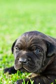 cute black chow puppy on green grass poster