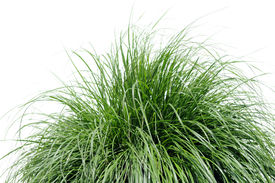 picture of fountain grass  - Fountain grass isolated over a white background - JPG