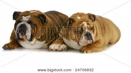 bulldog mother and daughter that look the same laying together on white background