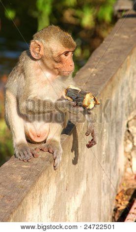 Crab-eating Monkey