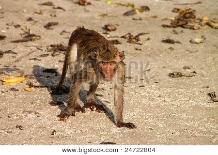 Crab-eating Monkey On The Ground