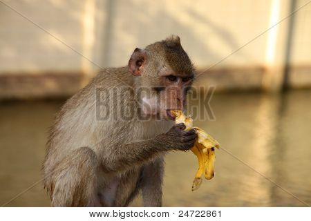 Crab-eating Monkey Or Long-tailed Macaque In Forest Park