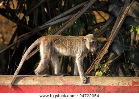 Long-tailed Macaque Monkey In Rain Forest Park