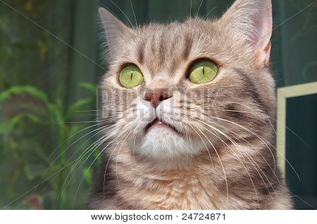 Close Up Of British Marmoreal Cat