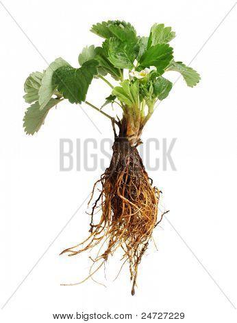 Strawberry Bush mit Root, isoliert auf weiss