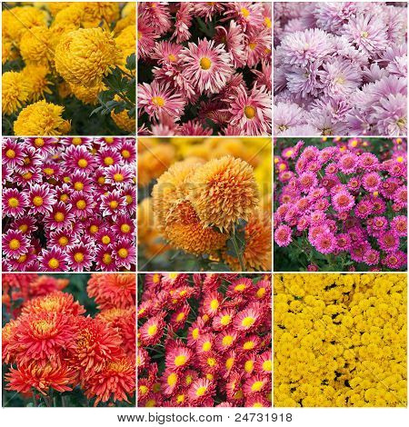 Collection of different species of chrysanthemums