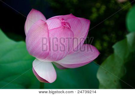 Beautiful Pink Lotus Flower