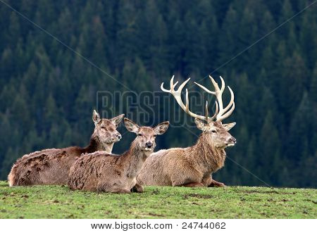 deer on autumn background