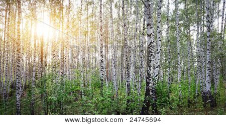 Forest with birches and sunlight
