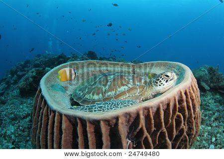 Suppenschildkröte (Chelonia Mydas) im großen Fass-Schwamm