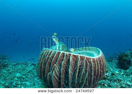 green turtle (Chelonia mydas) in big barrel sponge