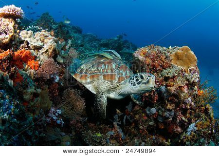green turtle (Chelonia mydas) resting in tropical coral reef